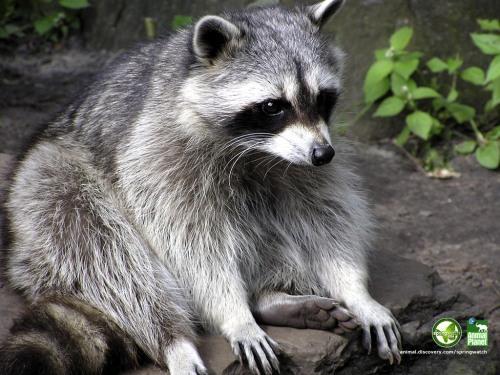 raccoon_1024x768.jpg